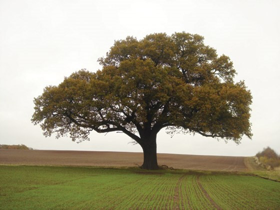 common-oak-full-tree